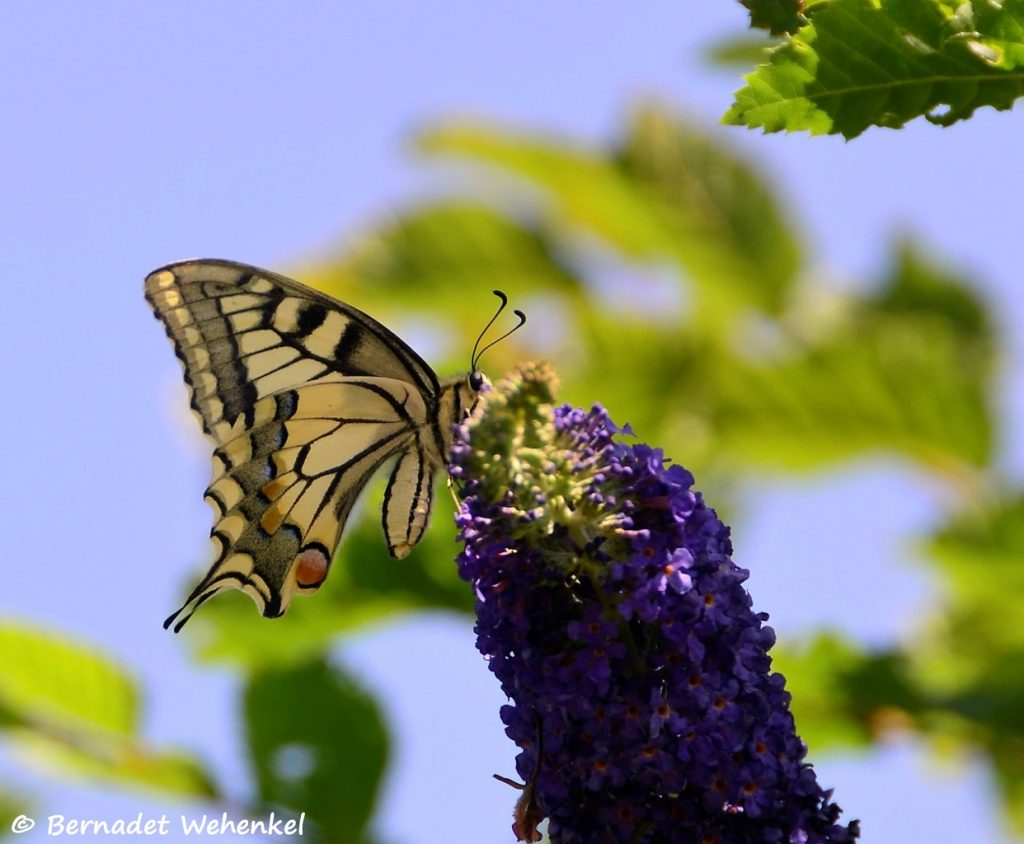 Koninginnenpage op de vlinderstruik