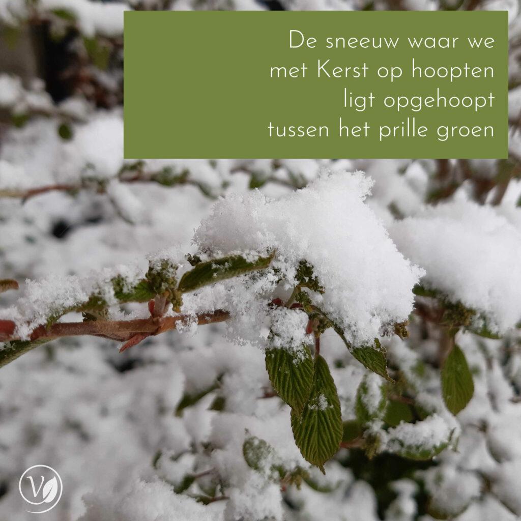 Sneeuw na Pasen 2021, op Viburnum met groen blad.